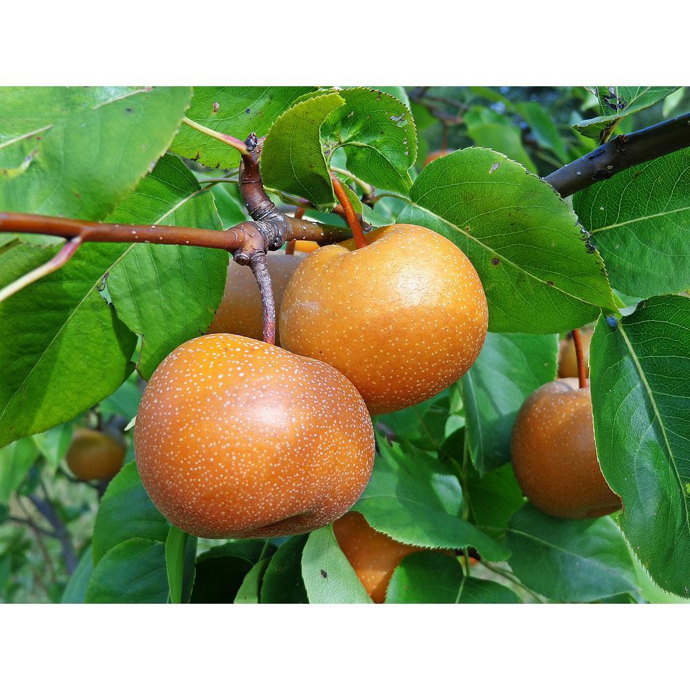 dwarf fruit pear tree Asian