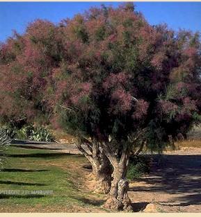 salt invasive Asian cedar