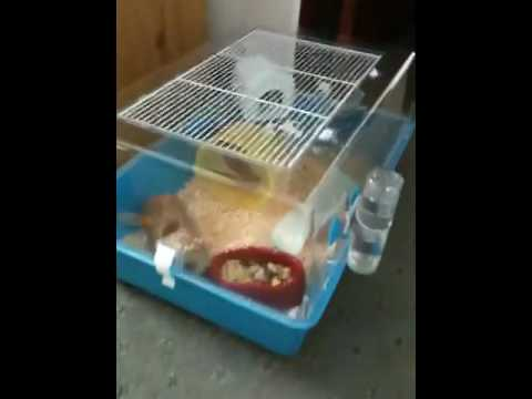 dwarf sexual maturity hamsters Chinese